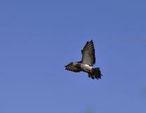 gołąbki latanie zdjęcie royalty free