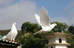 gołąbki lota biel Fotografia Stock