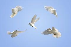 gołąbki lota biel Fotografia Royalty Free