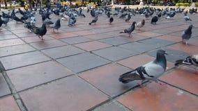 Gołąbki na parku Obrazy Royalty Free