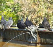 gołąbki obok fontanny fotografia stock