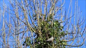 Gołąbki obsiadanie na gałąź w drzewie, Kwiecień, Drewniany gołąb zbiory