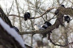 Gołąbki siedzi na gałąź w zmierzchu Zdjęcie Royalty Free