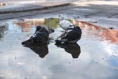 Gołąbki w mieście Obrazy Royalty Free