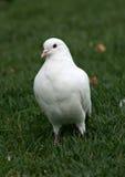 gołębi biel Obraz Stock