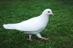 gołębi biel fotografia stock
