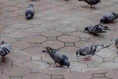 Gołębi brid długi czas temu używa wysyłać wiadomość w wojnie Obraz Stock