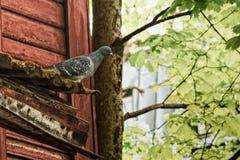Gołębi dopatrywanie Nad ulicą Obrazy Royalty Free