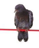 gołębi grey obsiadanie jeden Obrazy Royalty Free