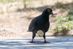 Gołębi gryzienie i łasowanie zwitka Zdjęcie Stock