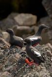 Gołębi Guillemots na skalistym brzeg Zdjęcia Stock
