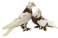 Gołębi i gołąbko Zdjęcia Stock