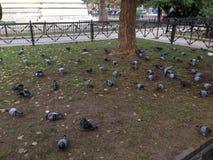 Gołębi jeść Zdjęcie Stock