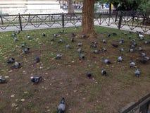 Gołębi jeść Obraz Royalty Free
