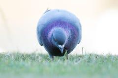 Gołębi karmienie Zdjęcie Stock