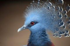 gołębi koronowany Victoria Fotografia Stock