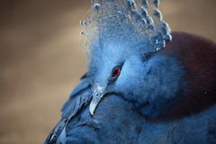 gołębi koronowany Victoria Zdjęcia Royalty Free