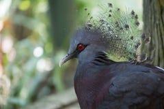 gołębi koronowany Victoria Zdjęcie Stock