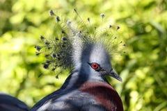 gołębi koronowany Victoria Fotografia Royalty Free
