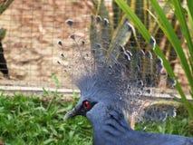 gołębi koronowany Victoria Obrazy Stock