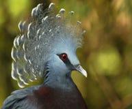 gołębi koronowany Victoria Obraz Stock