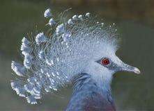 gołębi koronowany wiktoriańskie Obraz Royalty Free