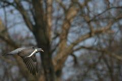 Gołębi lasowy latanie zdjęcie royalty free