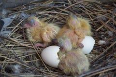 Gołębi lisiątka w gniazdowym ptaka wylęgu Zdjęcie Royalty Free