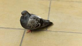 Gołębi na ziemi samotnie Fotografia Royalty Free