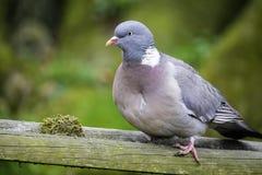 Gołębi Obiadowy czas Zdjęcia Stock