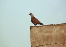 Gołębi obsiadanie na ścianie Zdjęcia Stock