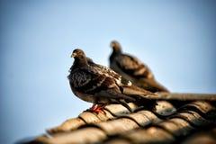 Gołębi obsiadanie na dachu Fotografia Royalty Free