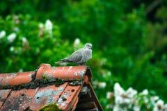 Gołębi obsiadanie na dachu Zdjęcia Royalty Free