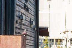 Gołębi obsiadanie Na Drewnianym pudełku Obrazy Stock