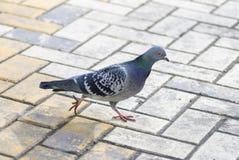 Gołębi odprowadzenie Zdjęcie Stock