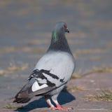 Gołębi patrzeć dobro Fotografia Stock