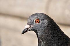 Gołębi portreta profilu zakończenie up Obrazy Royalty Free