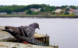 Gołębi Przyglądający Out Przy rzeką Fotografia Stock