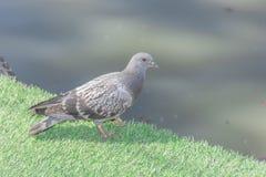 Gołębi ptak na zielonej trawy podłoga Obraz Royalty Free