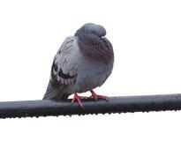 Gołębi ptak odizolowywający Zdjęcia Stock