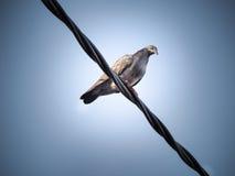 Gołębi ptak siedzi na Elektrycznym zasilanym kablu Fotografia Royalty Free