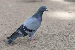 Gołębi ptak w parku Fotografia Stock