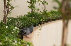 Gołębi ptasi życie Zdjęcia Royalty Free