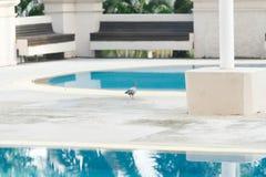 Gołębi ptasi odprowadzenie obok pływackiego basenu dnia zdjęcia royalty free