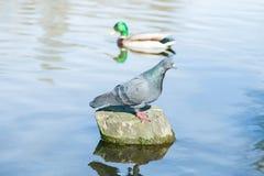 Gołębi stojaki na fiszorku po środku rzeki Fotografia Royalty Free
