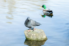 Gołębi stojaki na fiszorku po środku rzeki Zdjęcia Stock