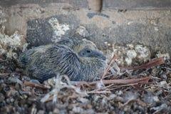 Gołębi urodzony 2 tygodnia temu Zdjęcia Stock