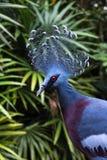 Gołębi Wiktoria Goura Victoria egzota koronowany gołąb Obrazy Royalty Free