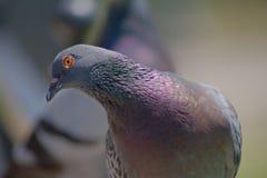 Gołębi zbliżenie Zdjęcie Royalty Free