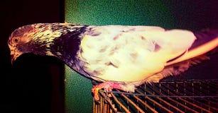 Gołębia fotografia zdjęcie stock